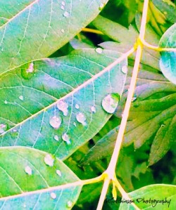 Dew Drop Tears